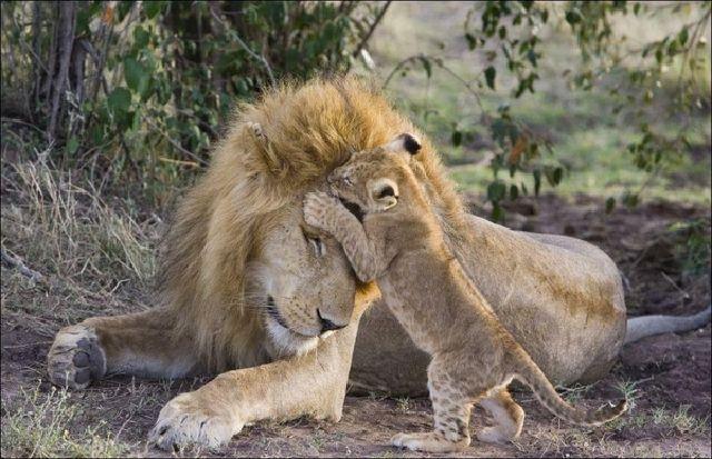 Первая встреча львенка с отцом фото